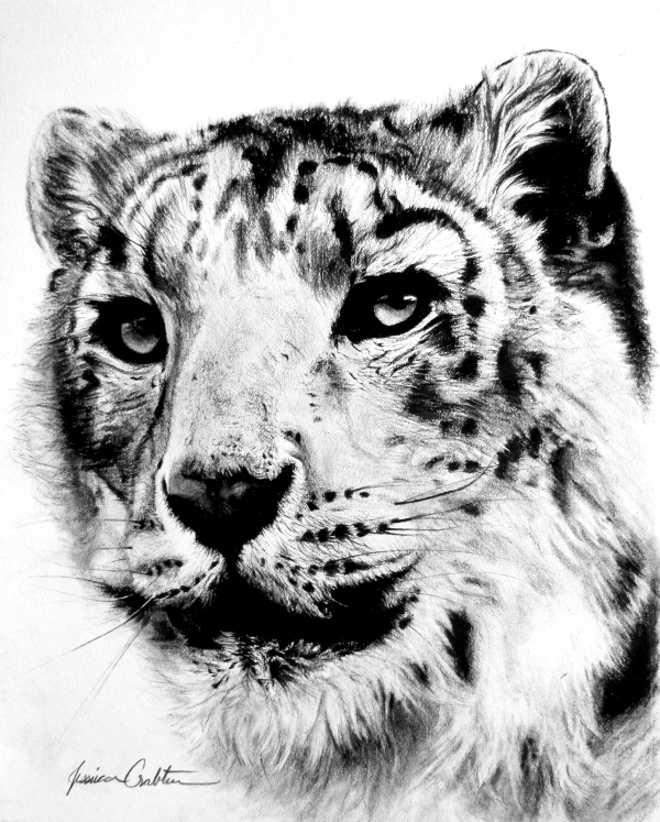 Snow Leopard, (8x10 Charcoal, framed) Please inquire for price.