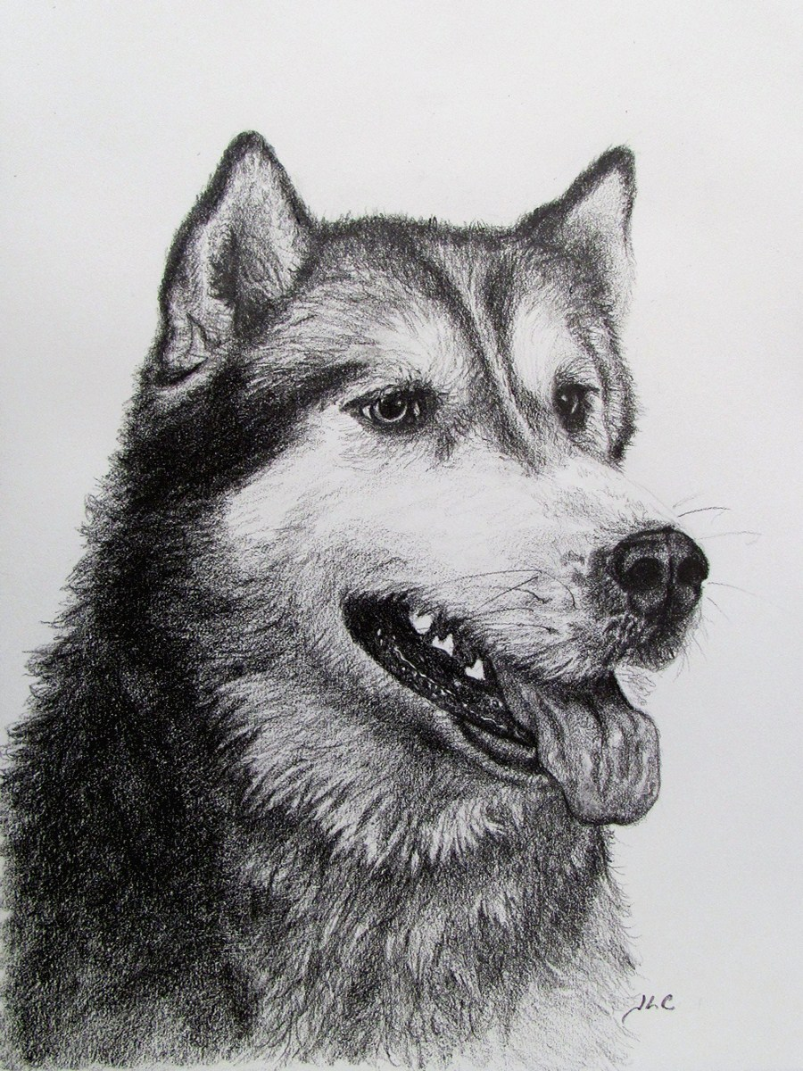 Malamute sketch (8x10 charcoal) by Jessica Crabtree