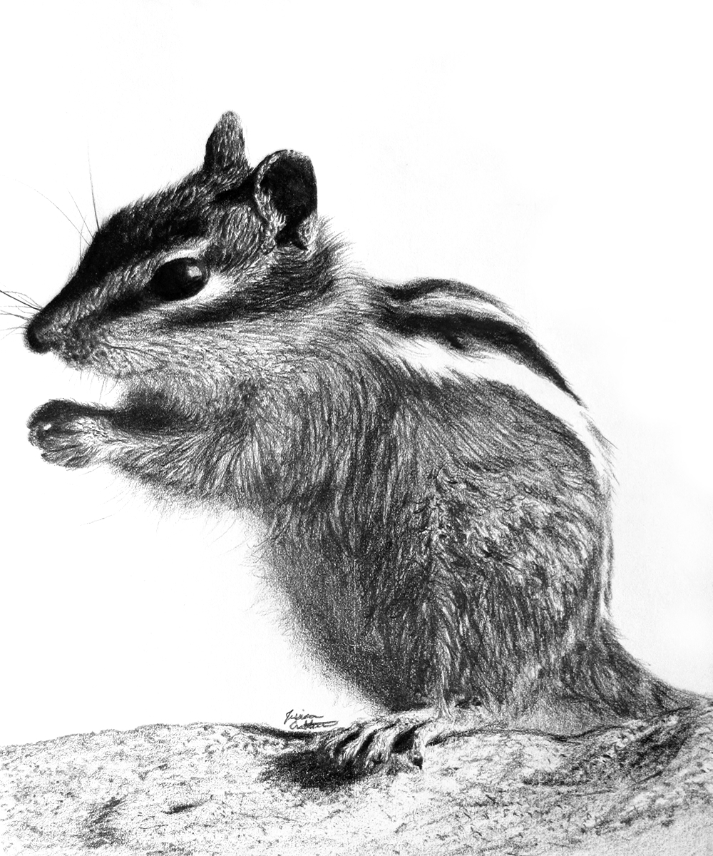 Chipmunk (8x10 Graphite & Charcoal) by Jessica Crabtree